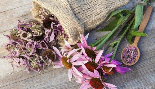 Das Bild zeigt die Pflanze Roter Sonnenhut, Liebelingspflanze von Alfred Vogel.