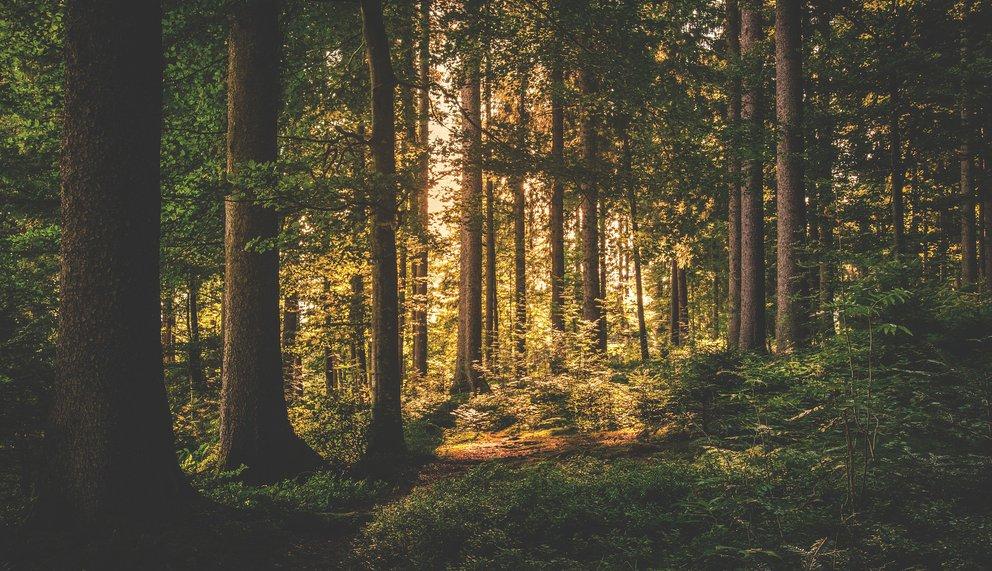 Tanne und Fichte - das Königspaar des Waldes