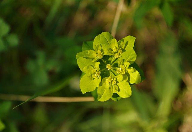 Heilpflanze Milzkraut - der Gral des Frühlings