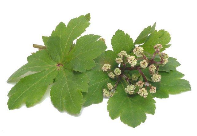 Der Zauberer - die Heilpflanze Sanikel und dessen entgiftende Wirkung