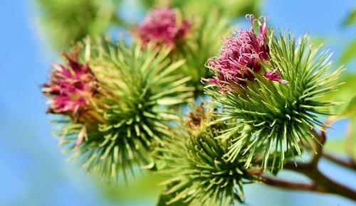 Heilpflanze Klette - eine vielseitige Heilerin