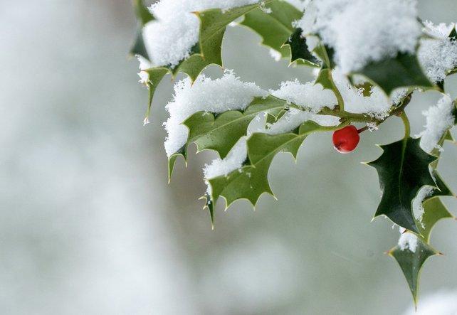 Heilpflanze Stechpalme - Wehrhafte Lichtbringerin