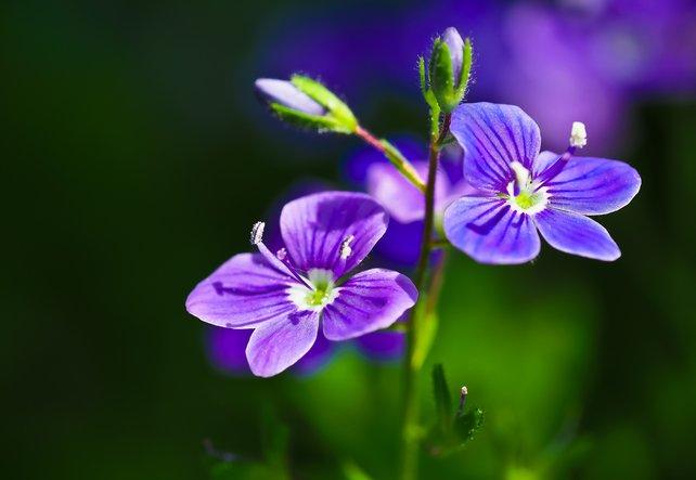 Für Haut und Atemwege: Heilpflanze Ehrenpreis